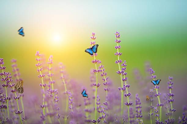Butterflies on lavender field picture id520738326?b=1&k=6&m=520738326&s=612x612&w=0&h=iycpldlzzorzwerkhqcrezkzc9ehg4hl8zx7pl0ljc4=