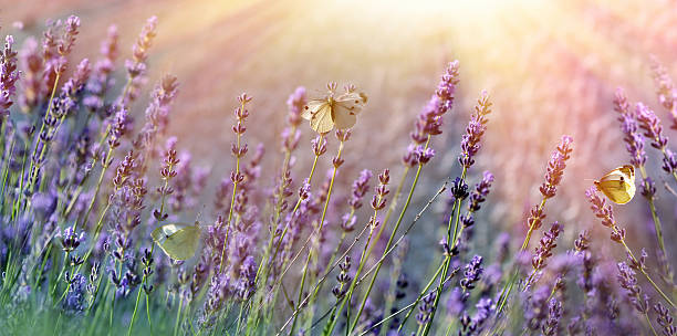 Butterflies on lavender flower picture id526829222?b=1&k=6&m=526829222&s=612x612&w=0&h=5hzosly8d6aztfejnuwoss9br p0rg1feip1hj32tuo=