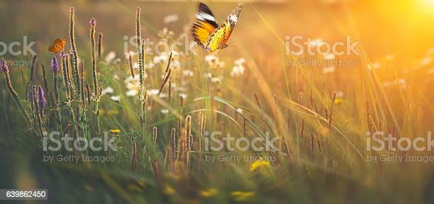 Butterflies on meadow at sunset picture id639862450?b=1&k=6&m=639862450&s=612x612&h=msfe9ty7zonqfsfylfiikqkx0fff5banioqyrvtmvla=