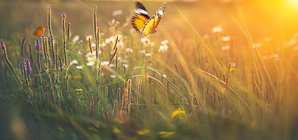 Butterflies on meadow at sunset stock photo