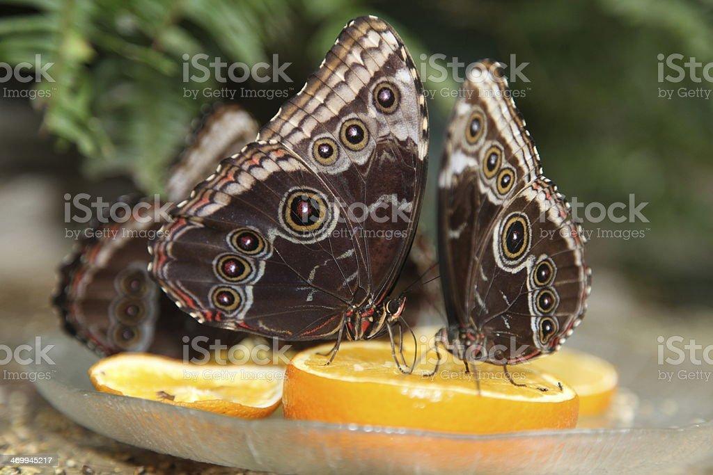 Butterflies on Orange Slices stock photo