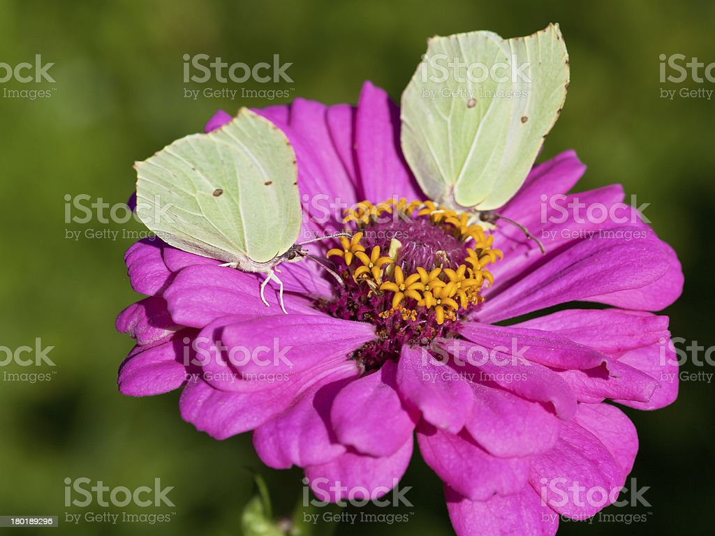 butterflies on pink flower close up royalty-free stock photo
