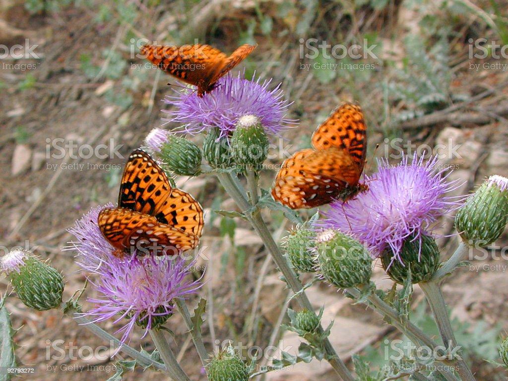 Butterflies on Thistle stock photo