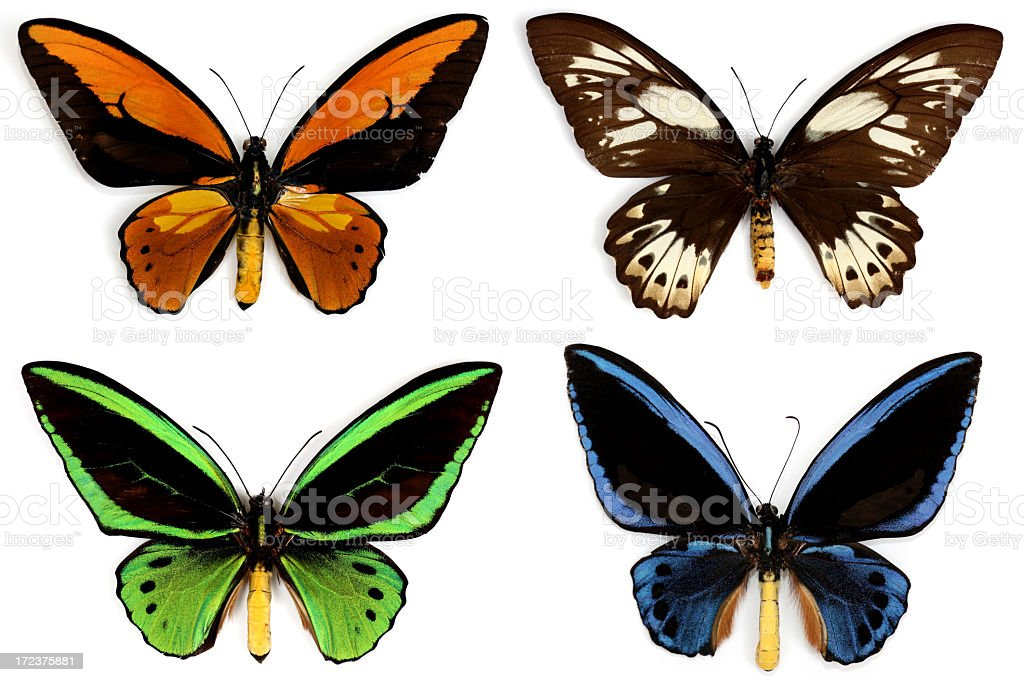 Butterflies Ornithoptera Croesus Isolated on White royalty-free stock photo