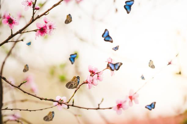 Butterflies over blooming cherry branches in spring picture id1125033176?b=1&k=6&m=1125033176&s=612x612&w=0&h=ftq g98j9hifydntf8rqg3sgd3vjpeevg5ujp9tnyea=
