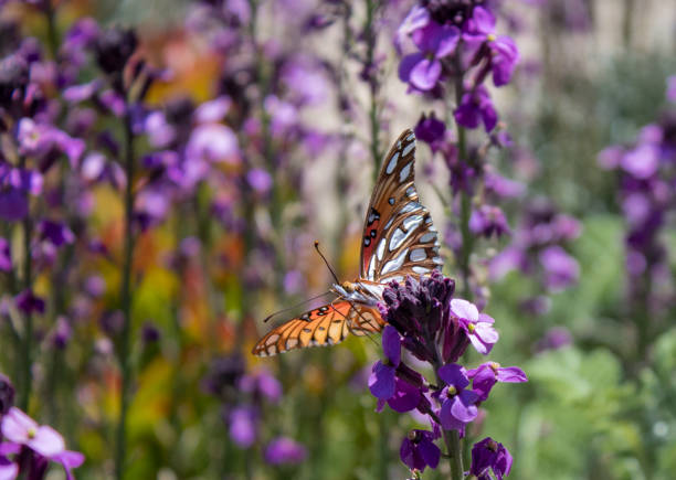 Butterflies picture id1145966748?b=1&k=6&m=1145966748&s=612x612&w=0&h=8nhz rc7kfjxzhwf1fbmg0 jx rof3mbotuha9whpvw=