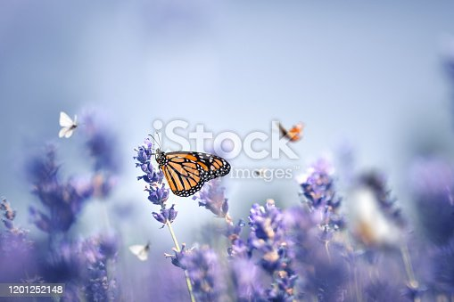 Colorful butterflies in lavender field.