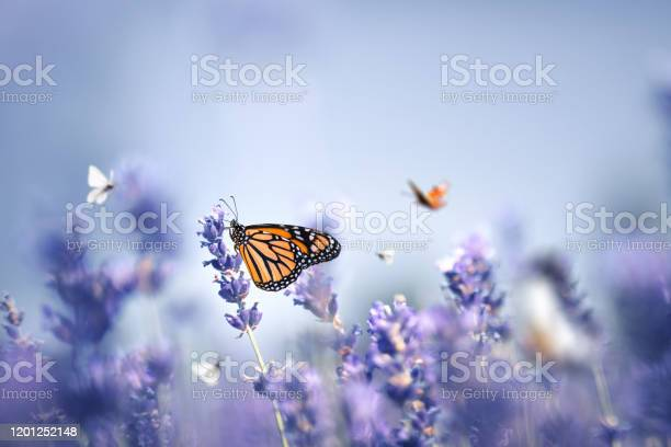 Butterflies picture id1201252148?b=1&k=6&m=1201252148&s=612x612&h=qbhc7w5i  uldmcjr6nxqw7tarpbeykexlaibtvcfdq=