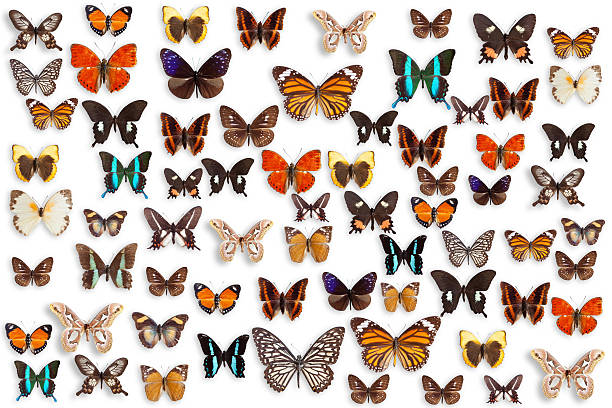 Butterflies picture id160834632?b=1&k=6&m=160834632&s=612x612&w=0&h=sl0qe0fenrwfmiyuhyeuczlsm n62fcaeqsvb6roxke=