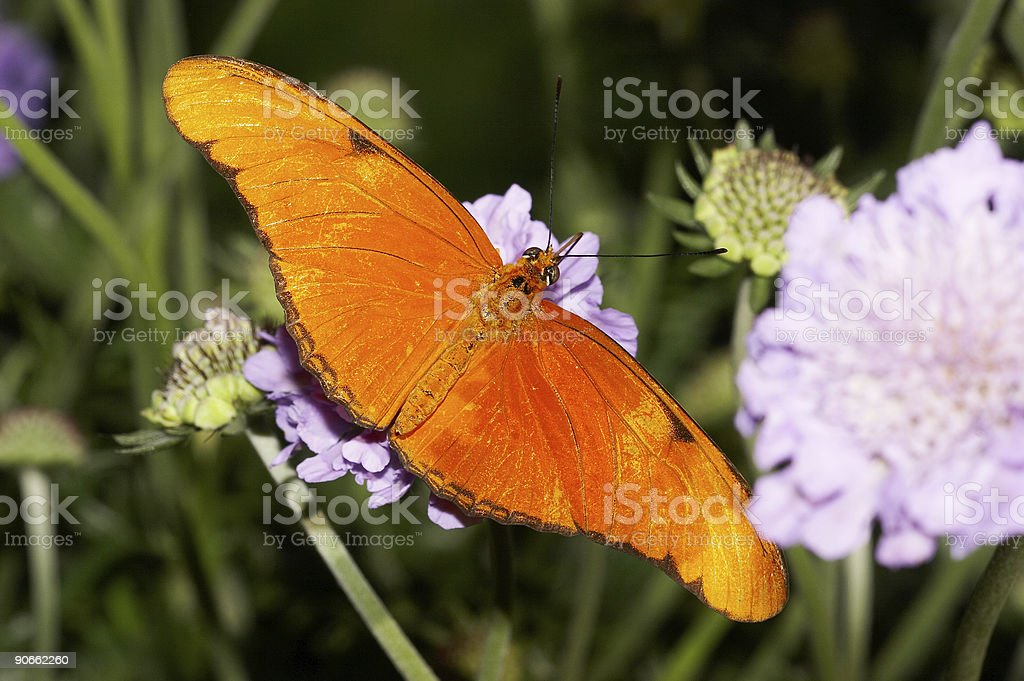 Butterfly 18 royalty-free stock photo