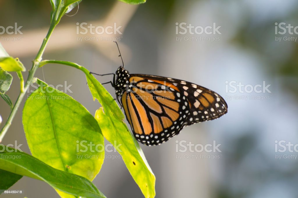 Butterfly 2017-57 stock photo
