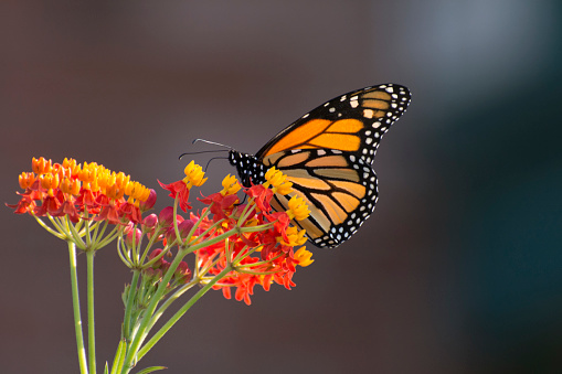 Beautiful six monarch butterfly, isolated on white background