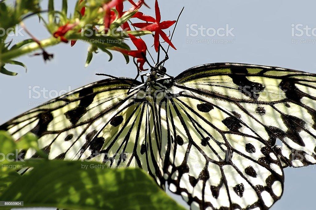 Butterfly 3 royalty free stockfoto