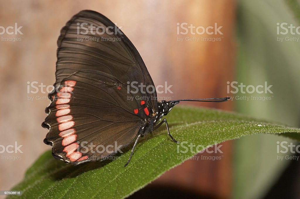 Butterfly 3 royalty-free stock photo