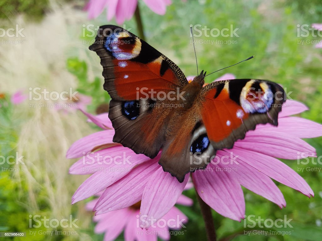 butterfly, Aglais io stock photo