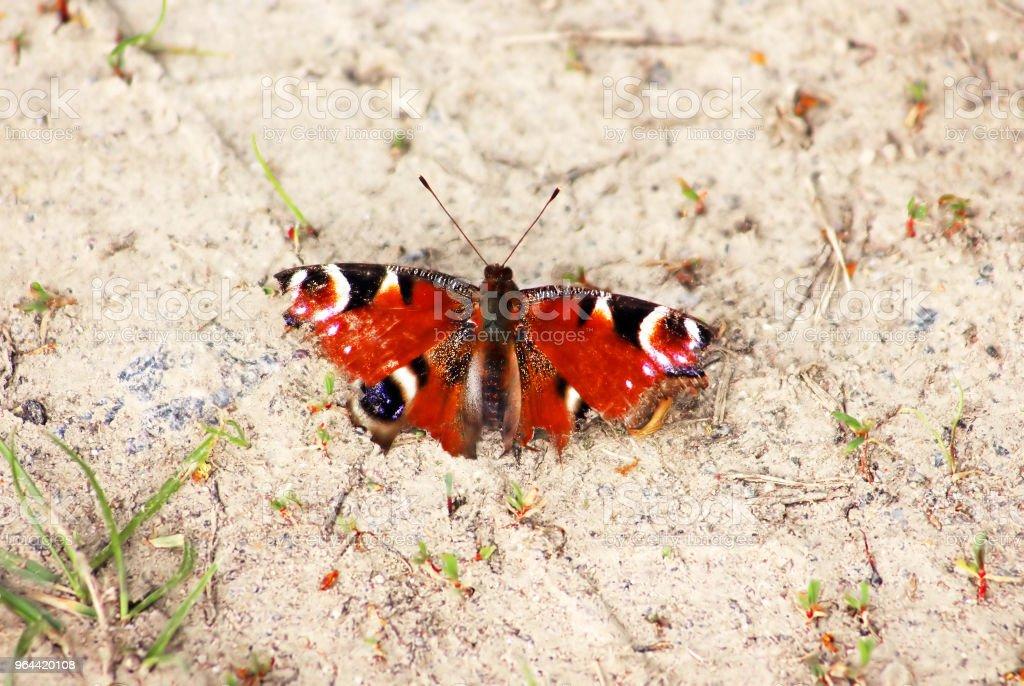Vlinder Aglais io (Peacock vlinder) met grijze achtergrond - Royalty-free Achtergrond - Thema Stockfoto