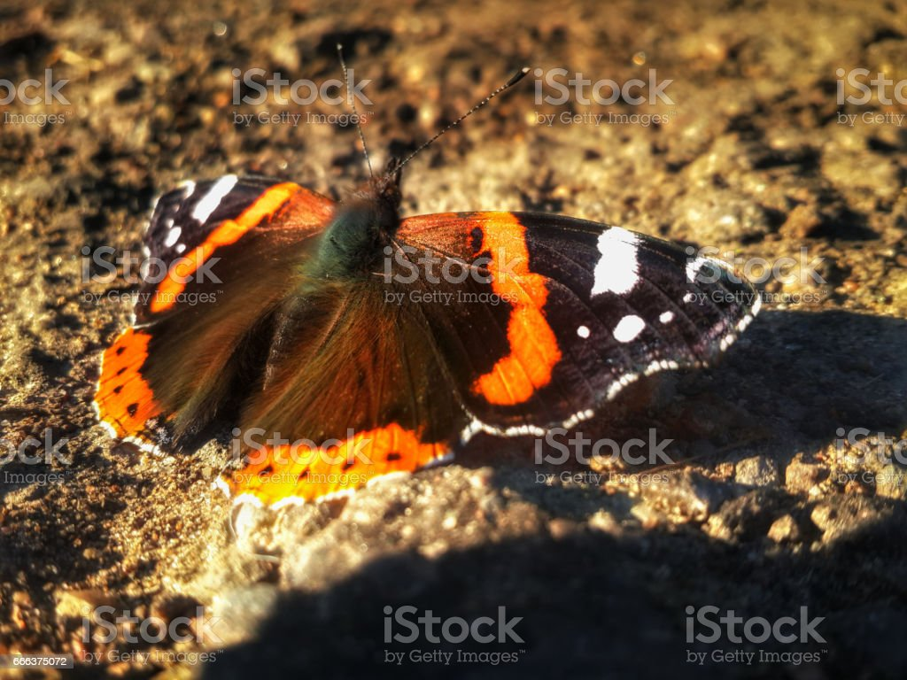 Butterfly Aglais urticae is sitting on the ground stock photo