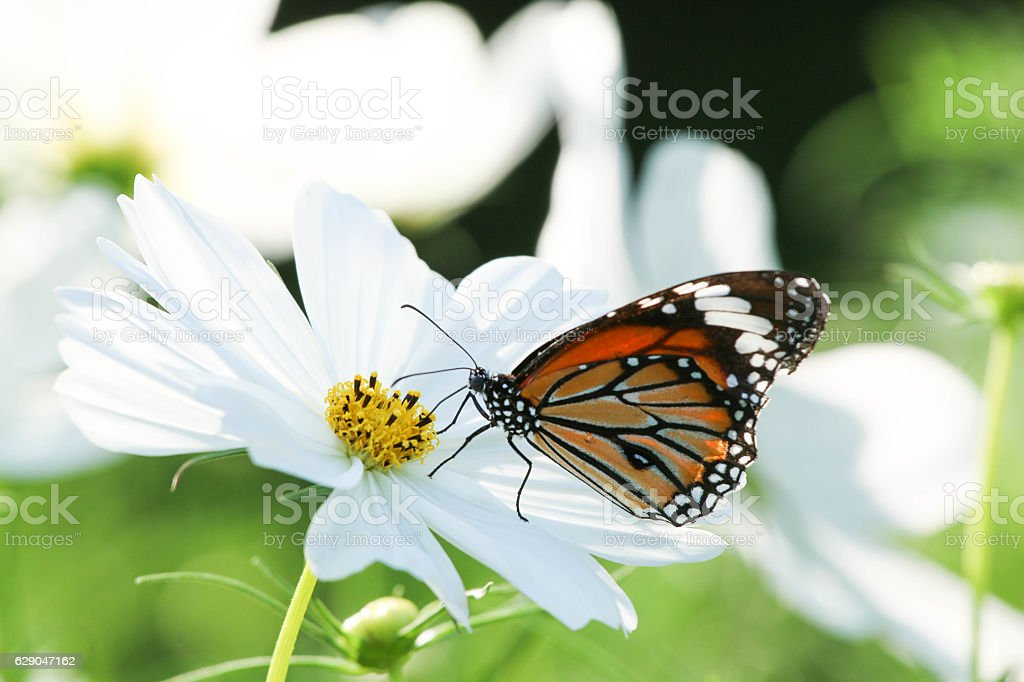 Butterfly and cosmos flower. stock photo