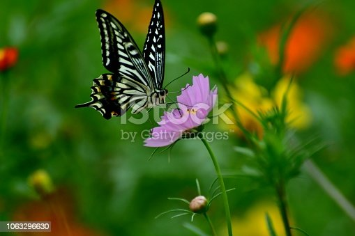 Cosmos are annual flowers with colorful daisy-like flowers that sit atop long slender stems. Blooming in summer or autumn, they attract butterflies, bees and birds. The flowers come in a various colors, including pink, red, orange, yellow, white and magenta. The butterfly in the photo is papilio xuthus, which is also called Asian swallowtail.
