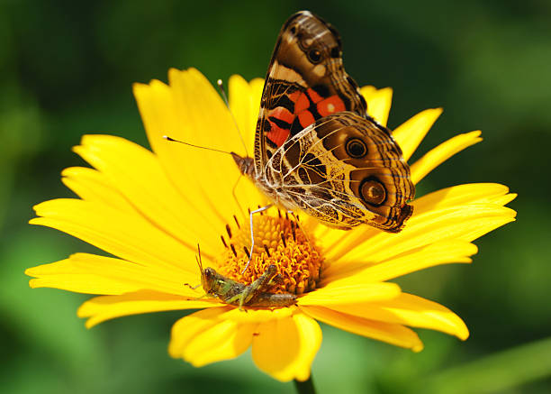 Butterfly and cricket sharing a flower stock photo