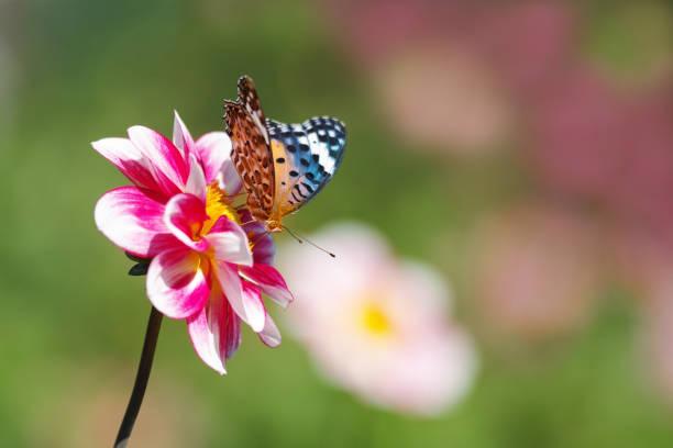Butterfly and dahlia picture id942633056?b=1&k=6&m=942633056&s=612x612&w=0&h=b3t519k1vfvdbqtcnvak82gwamjnr asffdo6wdt1mu=