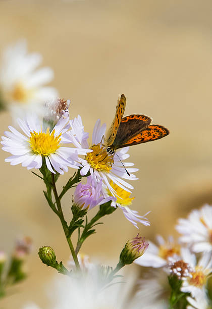 Butterfly and Flower Daisy - Mariposa en Flor Butterfly ( Lycaenidae ) on daisy flower - Mariposa ( Lycaenidae )  sobre flor Margarita alas stock pictures, royalty-free photos & images