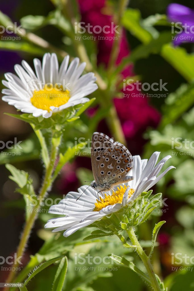 Butterfly and Flower - mariposa y flor royalty-free stock photo