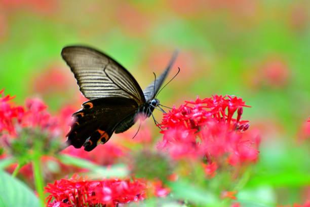 Butterfly and pentas lanceolata flower picture id1163555056?b=1&k=6&m=1163555056&s=612x612&w=0&h=a eideadou835klzhfsoue77nmnrriwv r 1oi9i gu=