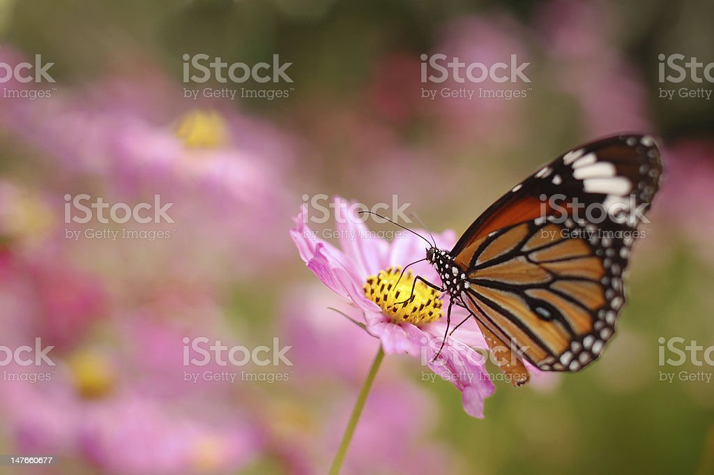 butterfly and the zinnia stock photo