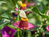 In een bed met zomerbloemen zoeken Vlinder en honingbij naar nectar