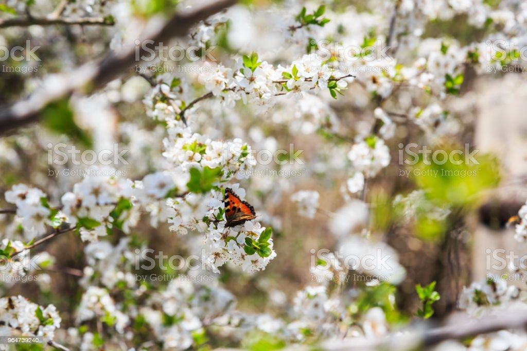Butterfly and white flowers royalty-free stock photo