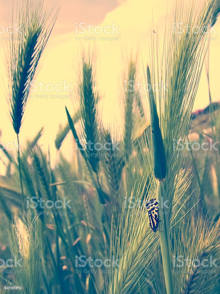 Butterfly and Wild barley stock photo