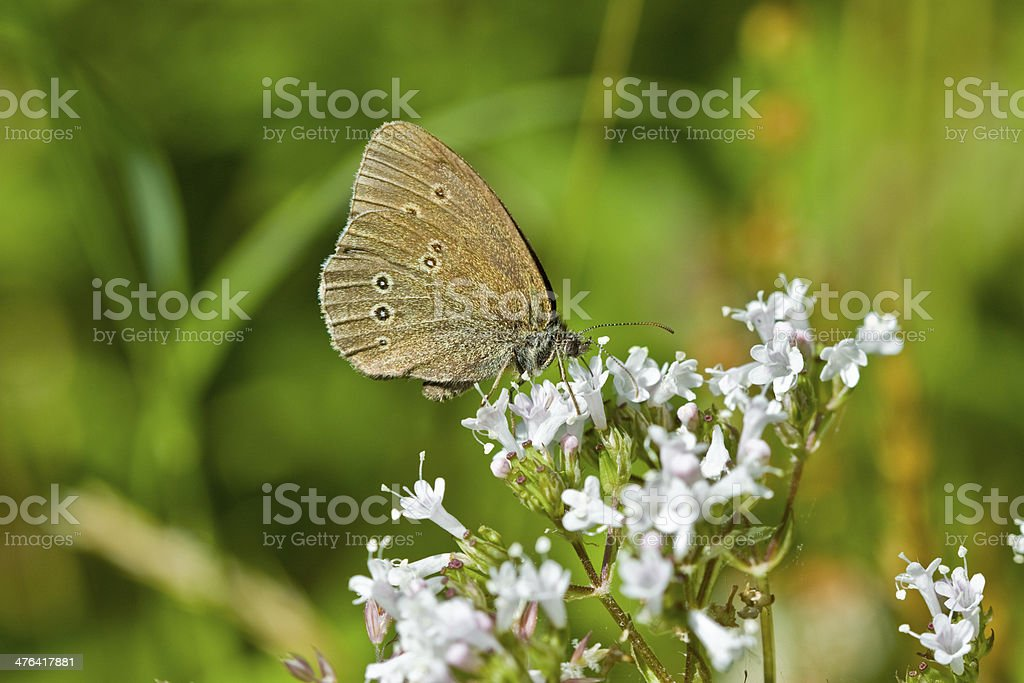 Butterfly (Lepidoptera) and wildflowers royalty-free stock photo