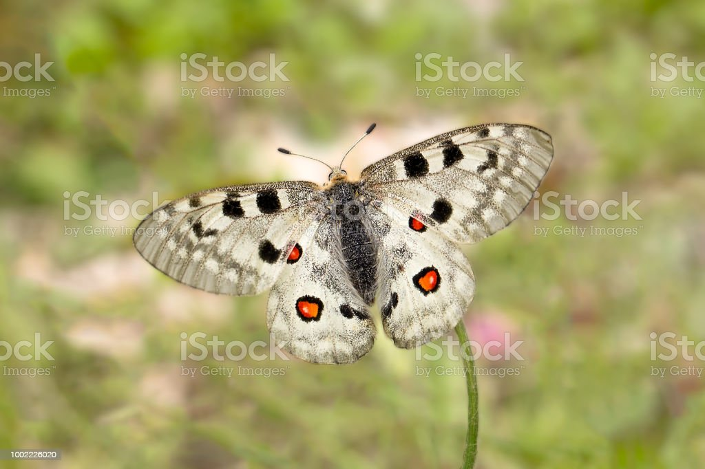 Papillon Apollon ou montagne Apollon (Parnassius apollo) - Photo