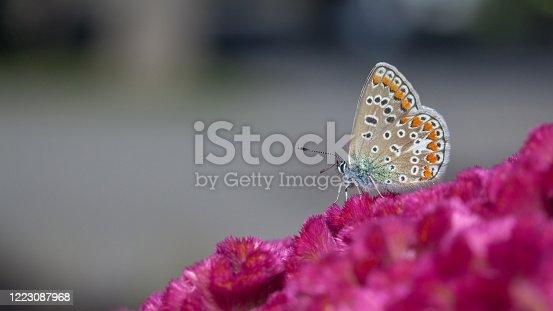 Un papillon Argus bleu butine un Célosie argentée en été au Québec.