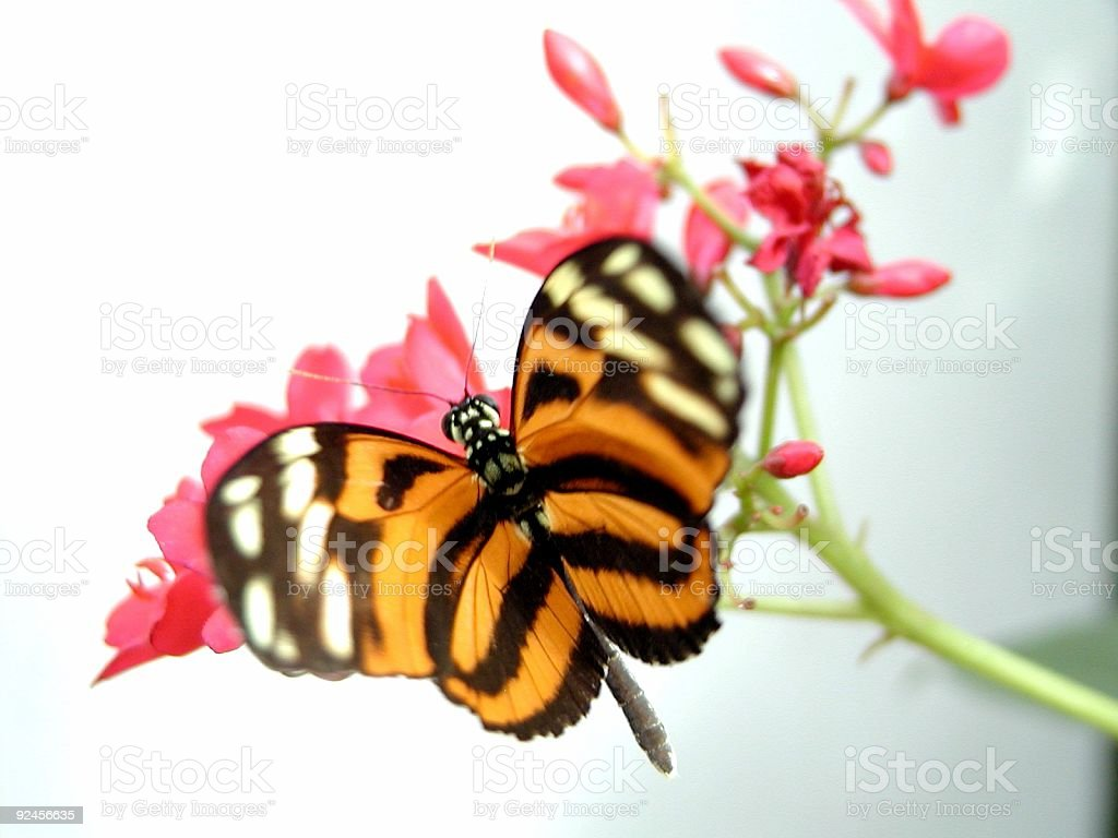 Butterfly at Flying royalty-free stock photo