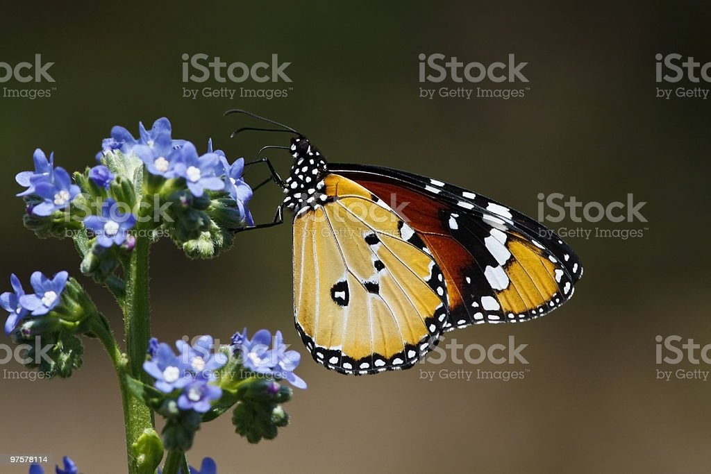 Butterfly at Kirstenbosch royalty-free stock photo