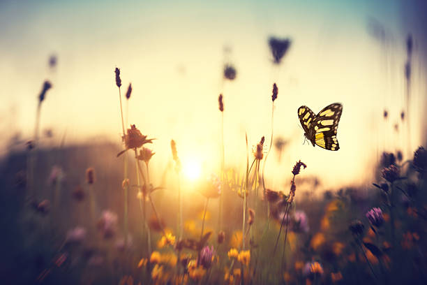 Butterfly At Sunset Summer meadow with butterfly at sunset. fly insect stock pictures, royalty-free photos & images