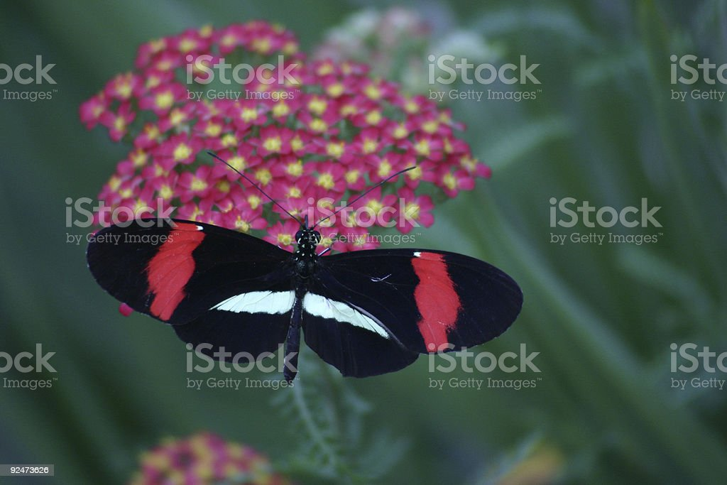 Butterfly attraction royalty-free stock photo