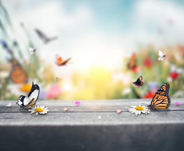 蝴蝶背景 - 雛菊 菊科 個照片及圖片檔
