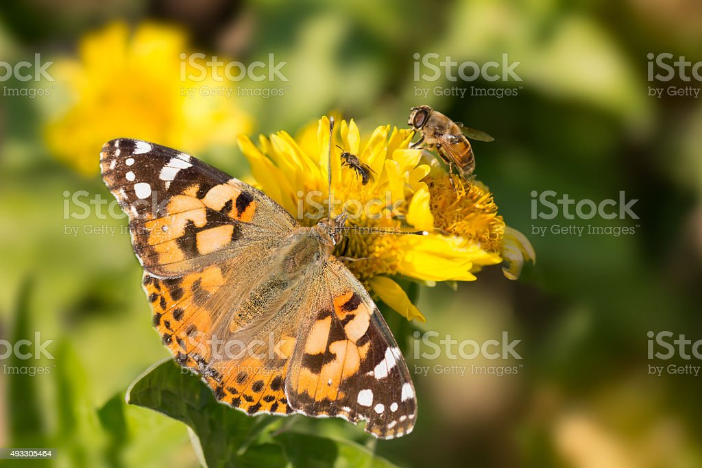 butterfly, bee and fly drink nectar of yellow flowers stock photo