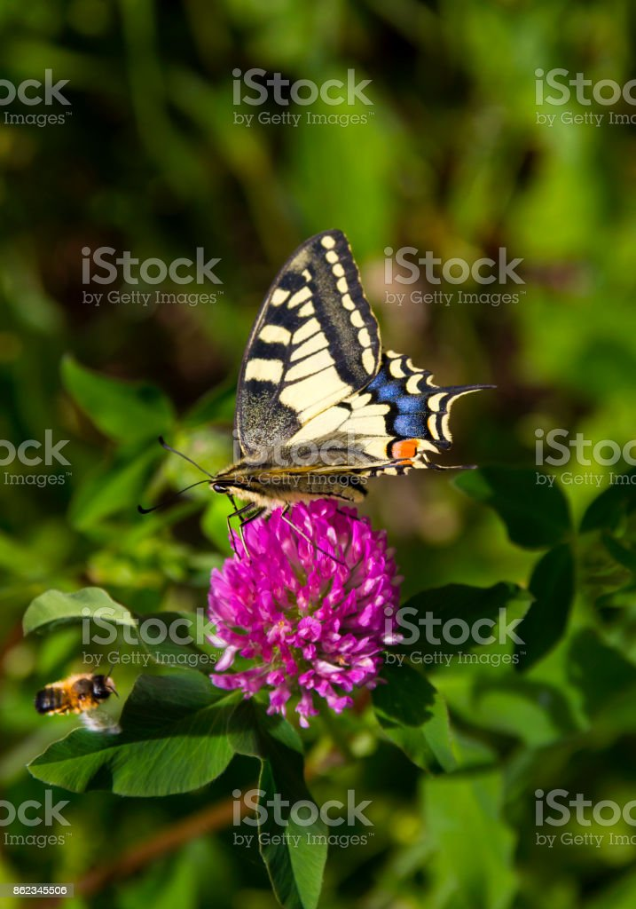 Butterfly Bee and Pink Flower stock photo