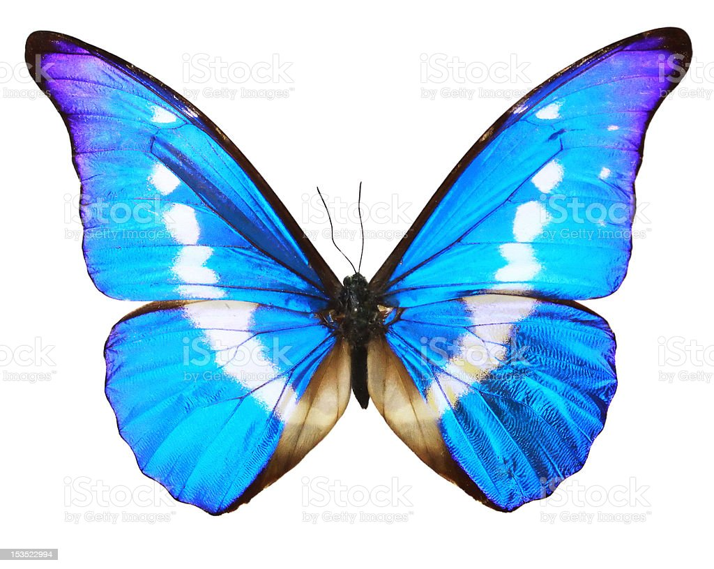 Butterfly blue isolated over whte background stock photo