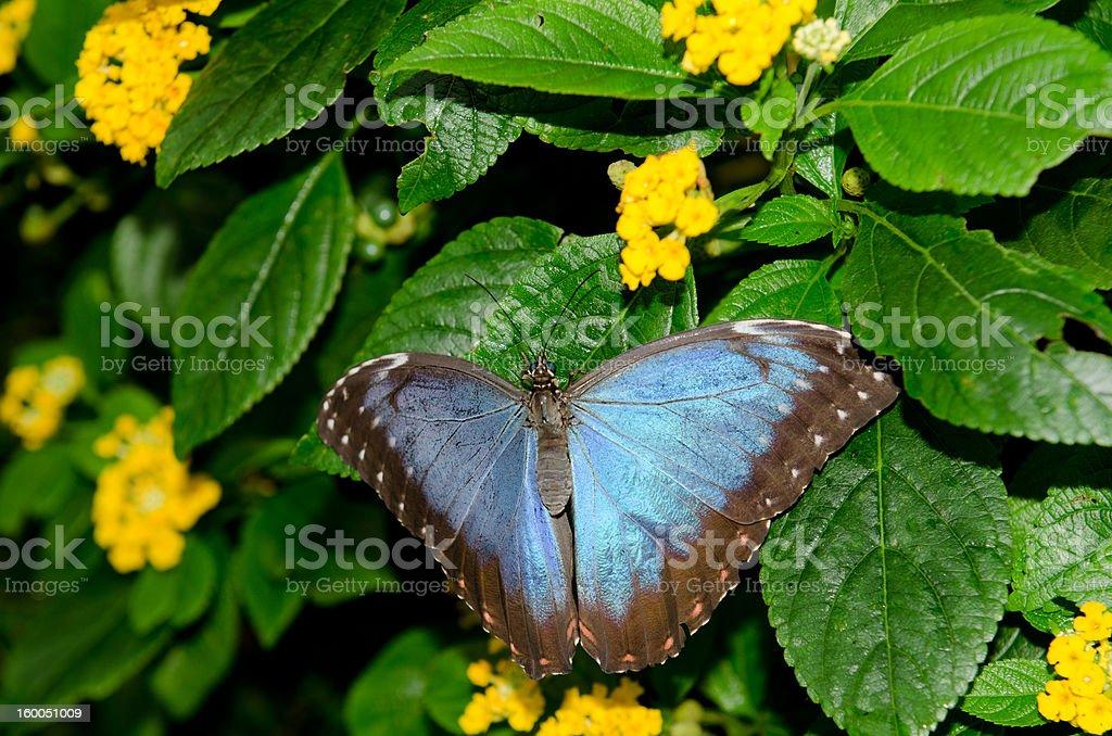 Butterfly 'Blue Morpho' stock photo