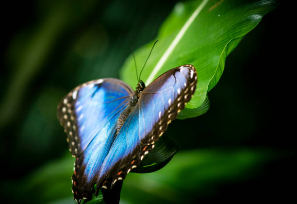 Butterfly blue morpho wings spread picture id1173899120?b=1&k=6&m=1173899120&s=612x612&w=0&h=ciryd9xkefxqcpaz5kkv xqha7  h0avoqdpsyup4oy=