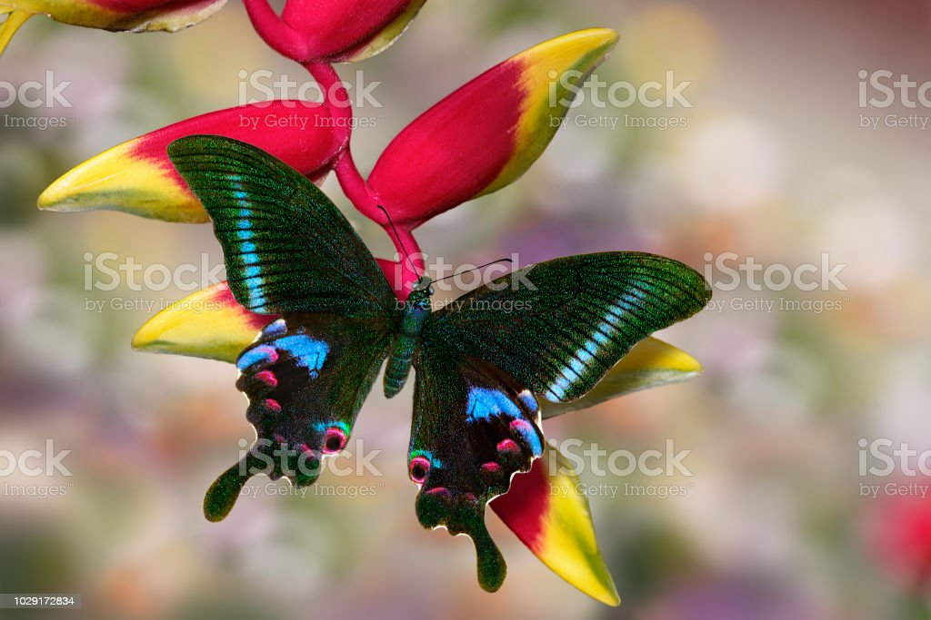 Sưu tập Bộ cánh vẩy 2 - Page 61 Butterfly-blue-peacock-or-papilio-arcturus-on-heliconia-flower-picture-id1029172834