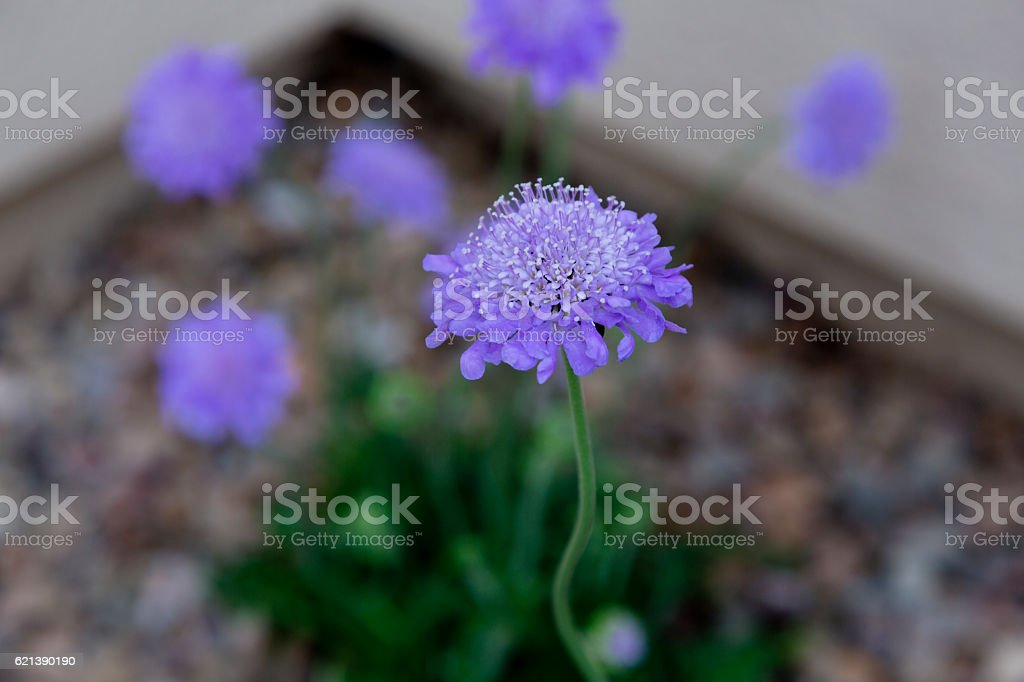 Butterfly blue scabiosa blossom stock photo
