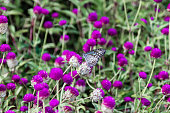 Butterfly, Blue Tiger (Tirumala limniace) from Kerala in India