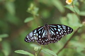 istock Butterfly Blue Tiger 1214221200
