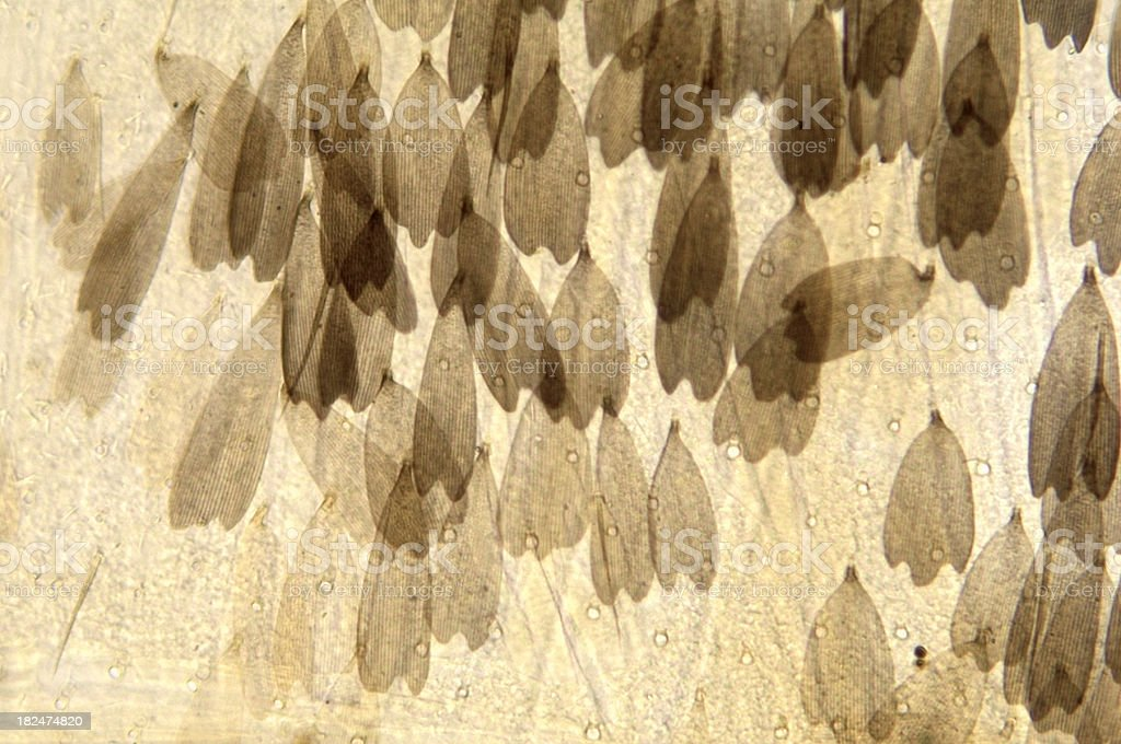 Butterfly Body Wall Scales royalty-free stock photo